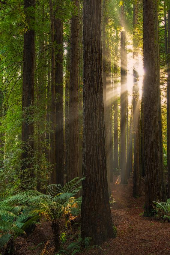 Californian-Redwoods