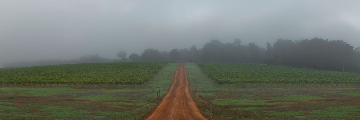 Foggy Vines
