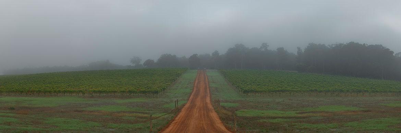 Foggy Vines